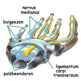 duimmuis anatomie