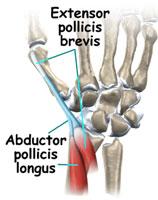 duim spier anatomie
